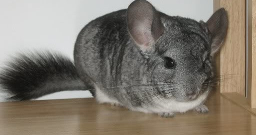 do chinchillas eat each other